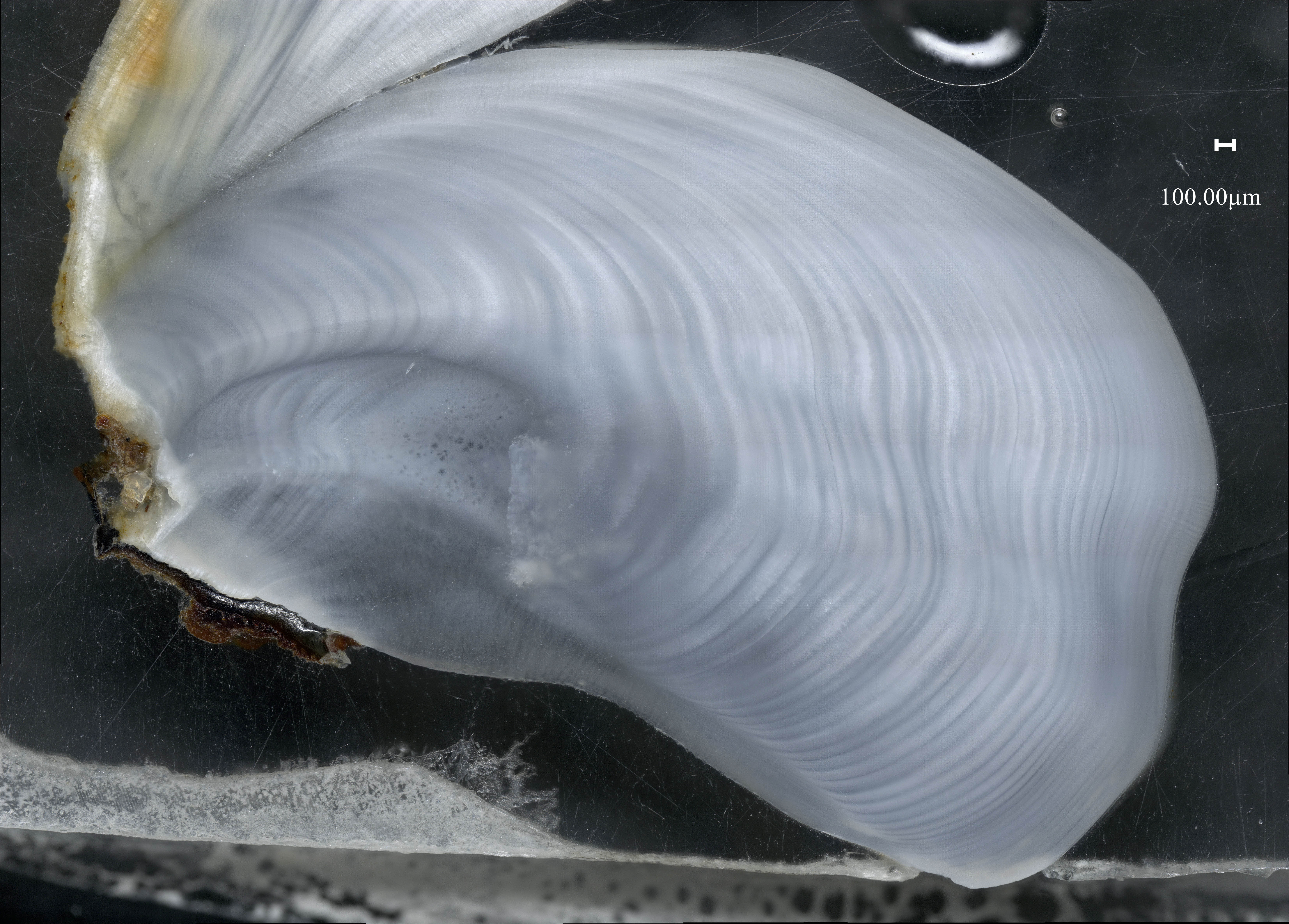 Photo prise au microscope keyence d'une coupe transversale d'une coquille du bivalve arctique Astarte moerchi de l'archipel du Svalbard
