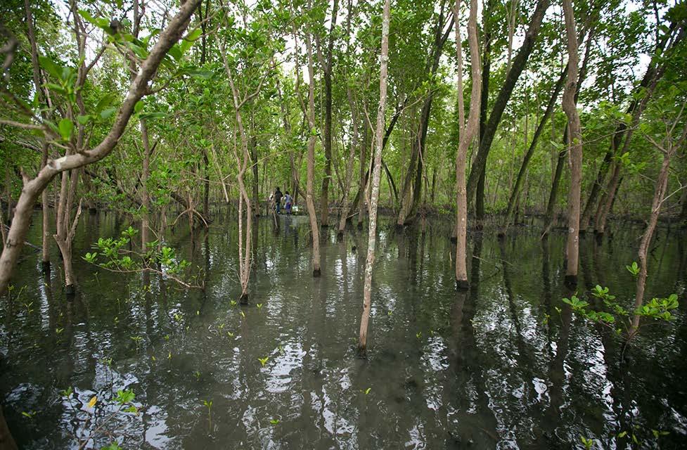 Site de mangrove le plus préservé (Mamangua, baie de Ilha Grande). Les trois sites sont dominés par les espèces Avicennia et Risophora