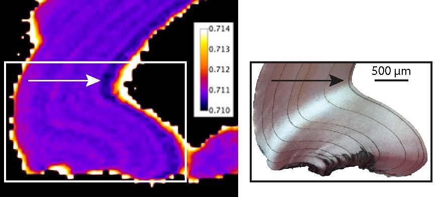 Cartographie 87Sr :86Sr (gauche) et lien avec la croissance coquillière (droite) au sein d'une charnière d'Anodontites elongatus. La croissance coquillière se fait dans le sens de la flèche. © IRD/UPPA : C. Lazareth , M. Pouilly, C. Peycheran