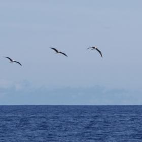 Oiseaux marins au large des récifs d'Entrecasteaux, Nouvelle-Calédonie , © IRD/ J.M. Boré