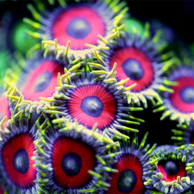 Photos macro de coraux par Felix Salazar