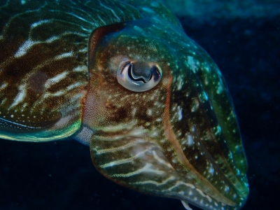 An adult cuttlefish Sepia officinalis. Colored chromatophores, iridescent iridophores and white leucophores participate in the pigmentation of the skin - Y. Bassaglia