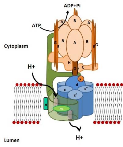Structure des pompes à protons de type V-ATPase