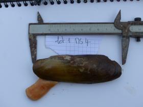 Mesures et marquage de la coquille d'une moule d'eau douce (Mycetopoda siliquosa) - C.E. Lazareth
