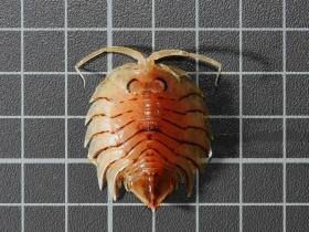 Serolis cornuta Studer, 1879 isopoda serolidae kerguelen benthos Southern Ocean
