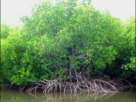 Palétuvier de Nouvelle-Calédonie : Rhizophora sylosa