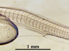Photo d'une larve de Pseudoplatystoma punctifer âgée de 24 heures