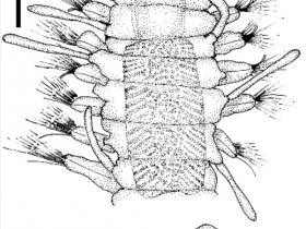 Streptospinigera niuqtuut sp. nov. Holotype (MNHN POLY TYPE 1553) : a. partie antérieure vue dorsale, b. parapode de la moitié du corps. Echelle: a. 0.2 mm., b. 0.1 mm.