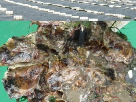 Filière d'huîtres creuses de pleine mer