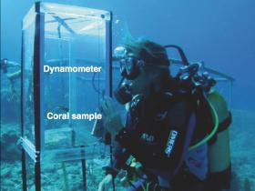 Pesée de boutures de coraux in situ. (Ilets Pigeon, Bouillante). Photo Claude Bouchon