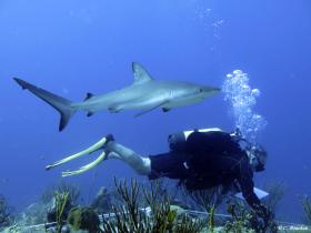 Relevés de coraux par transect… Les risques du métier… (Saint-Barthélemy). Photo Claude Bouchon