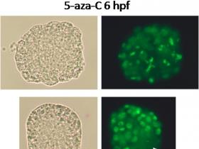 Un inhibiteur d'ADN méthyltransférases altère le niveau et la localisation de la méthylation de l'ADN dans les embryons d'huître - G. Rivière