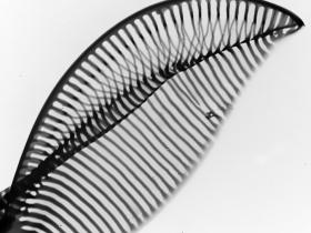 Diatomée feuille - P.J. Lopez