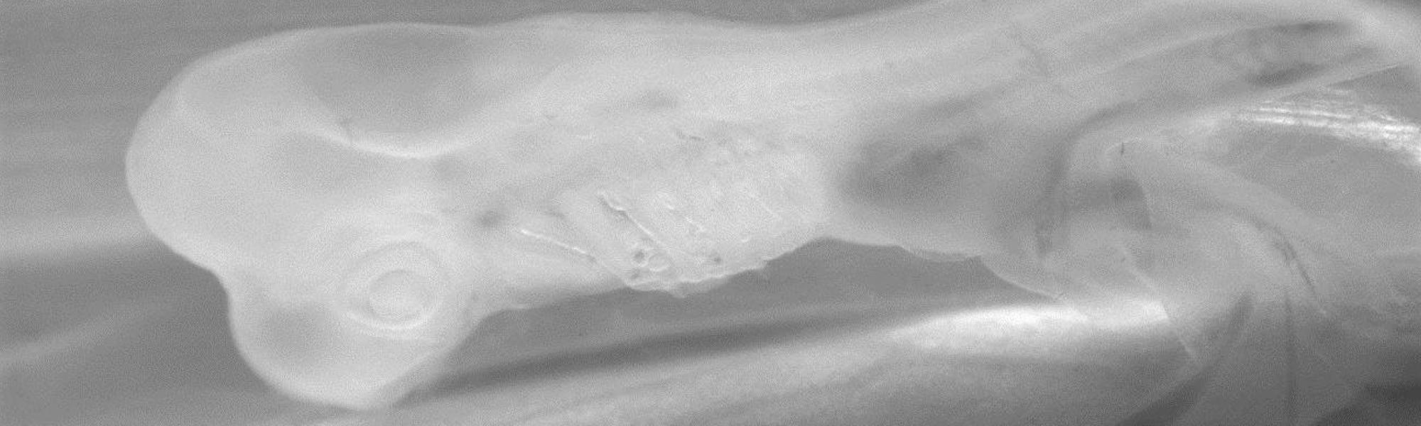 """Embryon de petite roussette, Scyliorhinus canicula"""". Photo Aude Gautier"""