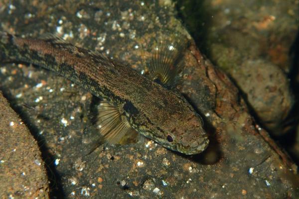 Evolutionary aspects of cephalic sensory papillae of the Indo-Pacific species of Eleotris (Teleostei: Eleotridae)