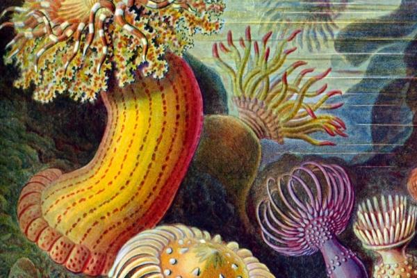 Actiniae, planche d'Ernst Haeckel (1904)
