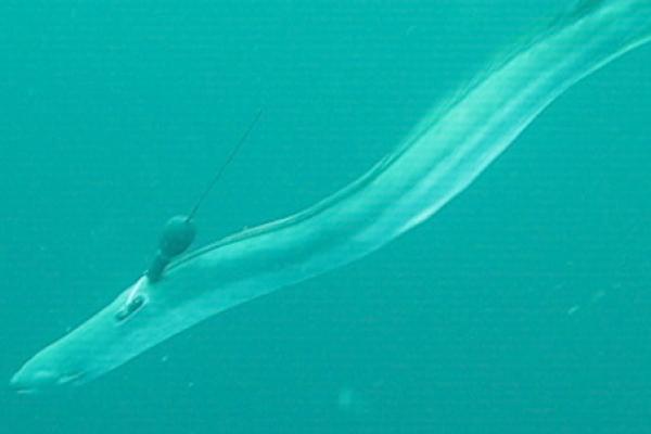 Anguille argentée nageant avec une balise argos