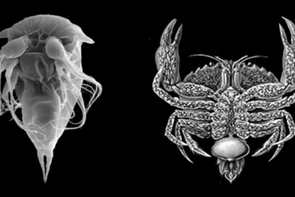 A gauche, électronographie de larve nauplius de Sacculina carcini. A droite, représentation du parasite Sacculina carcini adulte et de son hôte, Carcinus maenas.