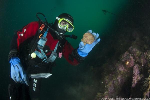 Chlamys islandica  récupéré par Laurent Chauvaud en plongée. Photo Erwan Amice