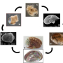 Fig1: life cycle of the european abalone Haliotis tuberculata. Photos S. Auzoux Bordenave