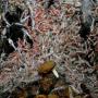 Essaims de crevettes hydrothermales Rimicaris (juvéniles et adultes) sur le site Logatchev Copyright Ifremer / Serpentine 2007