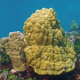 Colonie Porites astreoides, récif corallien de Guadeloupe. C. Bouchon