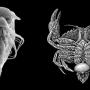A gauche, électronographie de larve nauplius de Sacculina carcini (© F. Trédez). A droite, représentation du parasite Sacculina carcini adulte et de son hôte, Carcinus maenas (Haeckel 1904)