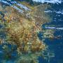 Sargasses flottantes Petit cul de sac Marin, Guadeloupe - PJ Lopez