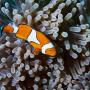 Larve de poisson-clown et anémones © S. Planes