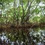 Mangrove d'estuaires, Guyane © Sophie Gonzalez/IRD