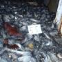 Trait quasi-monospécifique de poisson des glaces lors de la campagne PIGE (trait 55, octobre 2015). photo ©TAAF -Marc Le Ménager