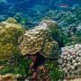 Coraux Porites astreoides sur les récifs de Guadeloupe/ Porites astreoides coral in Guadeloupe Reef. © Claude Bouchon